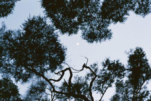 Kanuka trees and the moon