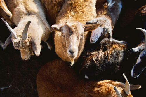close up goats 1
