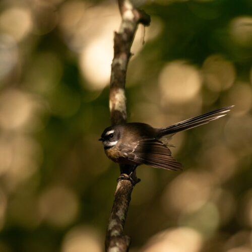 Fantail or piwakawaka on the Ecology Trail. Athena Rhodes photo.