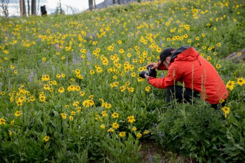 Once the snow has melted, the hillsides along the Beartooth become a profusion of wildflowers.