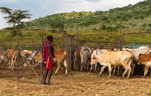 A Masai herdsman puts his cattle into a special enclosure designed to protect both the cattle and the environment Rose Palmer
