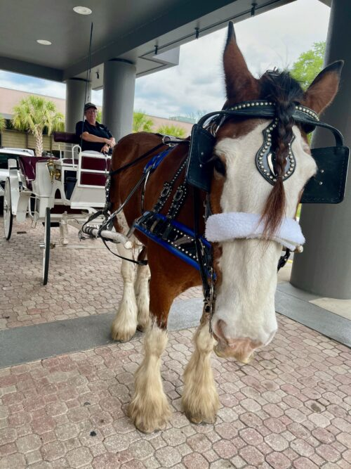 A Clydesdale welcome at the Hilton Hotel in Ocala Florida.