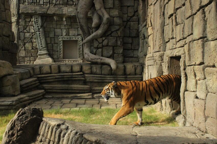 MalayanTiger at Tulsa Zoo Courtesy of Visit Tulsa