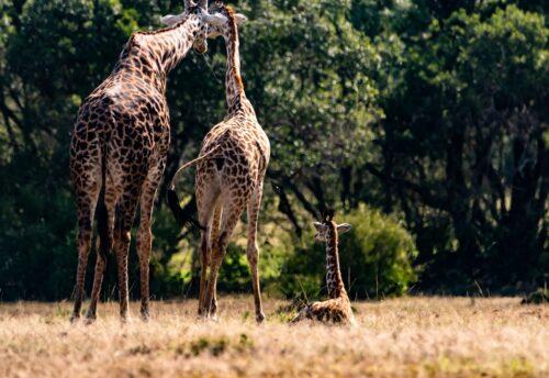 Sighting a dad mom and baby giraffe at the Enonkishu Conservancy Rose Palmer