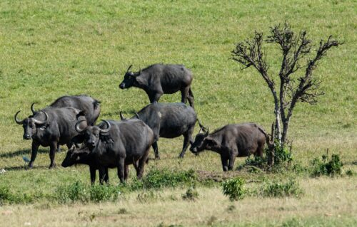 Water buffalo are also a common sight on the recovered grass plains of Enonkishu Conservancy Rose Palmer