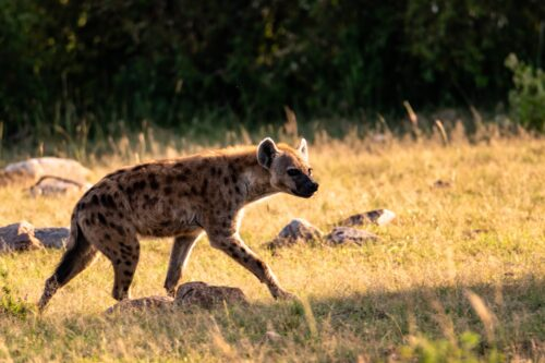 We spot a spotted hyena on an early morning data gathering drive Rose Palmer