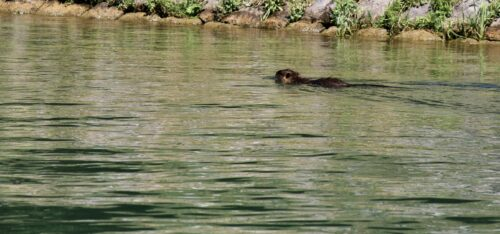The river ecosystem has a lot of wildlife like this adult nutria swimming alongside the river bank.
