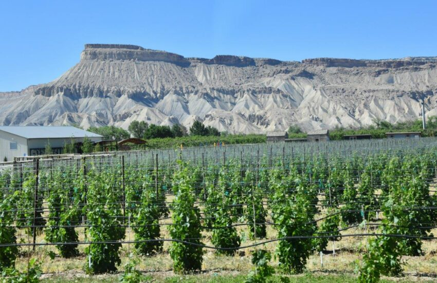 Vines in the foreground with pretty high desert scenery in the background in Palisade.