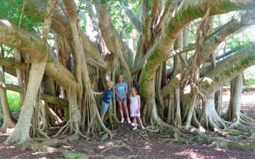 Bermuda Banyan Tree