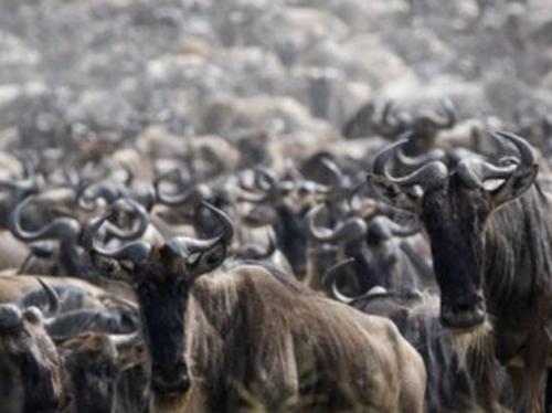 herdtrackekr wildebeests