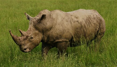 Sothern White Rhino