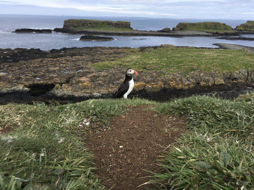 a puffin Longa island