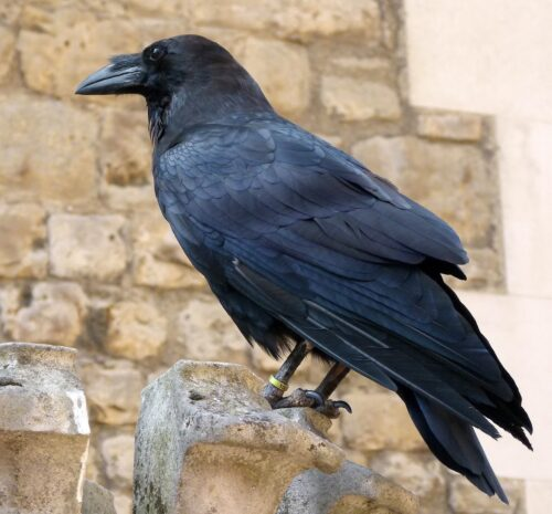 One of the special ravens who live in the Tower of London.